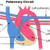 400px-illu_pulmonary_circuit