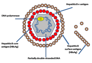 300px-hepatitis_b_virus_v2